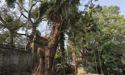 Cây sưa hiện còn cao khoảng 4m, đường kính thân cây khoảng 1m, thân đang có dấu hiệu bị mục. Ảnh: Thành Trung