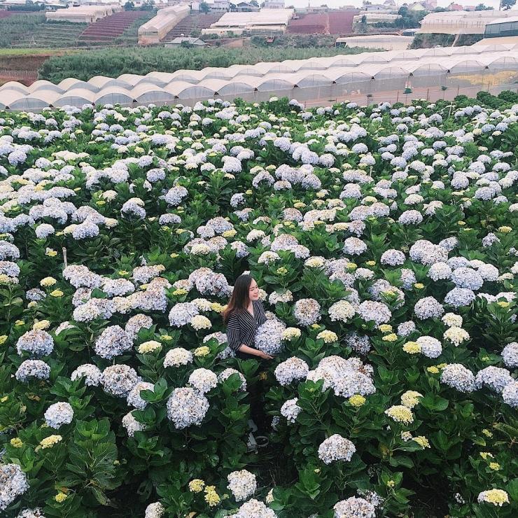 Cánh đồng hoa cẩm tú cầu trại Mát Đà Lạt
