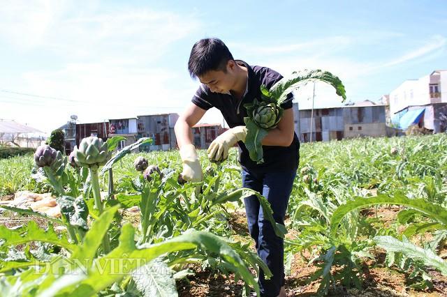 Trần Minh Tuấn cắt những bông atiso trong khu vườn của mình.