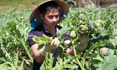 Trần Minh Tuấn chăm sóc vườn atiso. Ảnh: Văn Long