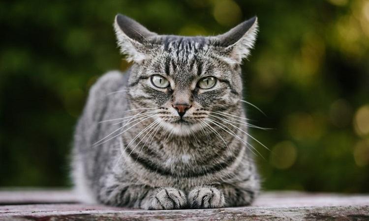 Mèo là loài thứ hai được ghi nhận nhiễm Covid-19 sau chó. Ảnh minh họa: Live Science.