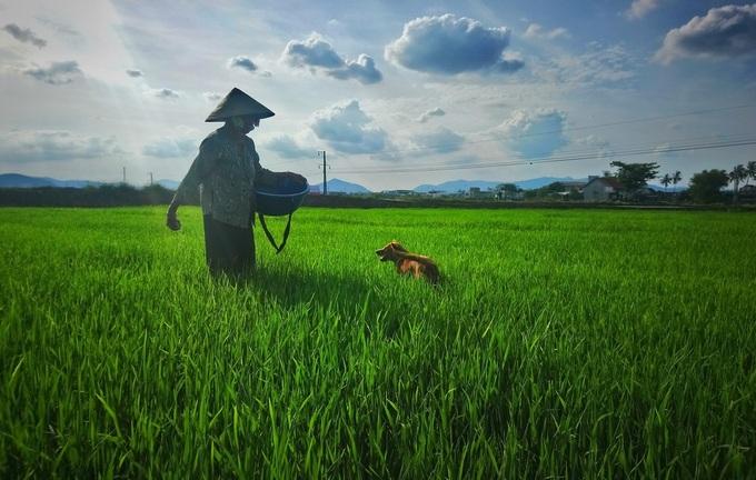 Bà Nguyễn Thị Điểu bón phân giùm cho một nông dân xã Tây Xuân, con chó vàng luôn đi theo bà. Ảnh: Phạm Linh.