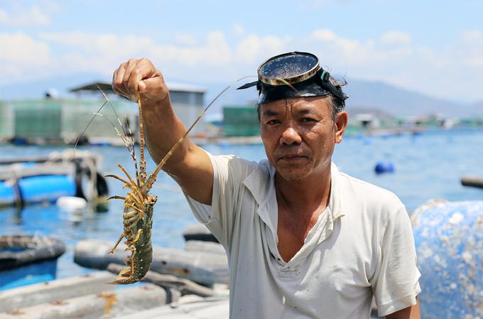 Tôm hùm của ông Trần Minh Luật đạt kích cỡ 0,3 kg, nhưng thương lái trả giá thấp đành phải chờ. Ảnh: Xuân Ngọc.