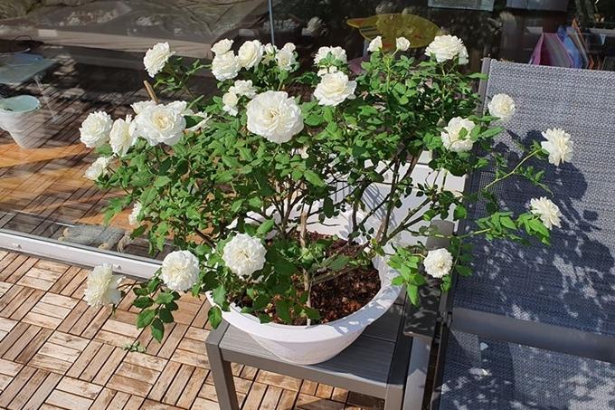 Sắc hoa trắng khiến góc vườn trở nên tao nhã.