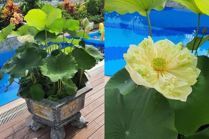 Những cánh hoa xếp chồng nhiều lớp, hoa nở to là điểm người đẹp ưng ý ở loài hoa này.