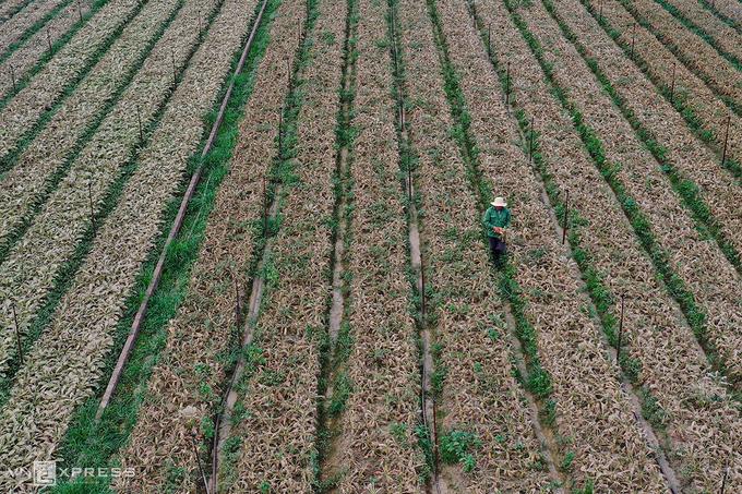 Cánh đồng củ cải bạc trắng vì sâu ở thôn Đông Cao, xã Tráng Việt, huyện Mê Linh. Ảnh: Ngọc Thành